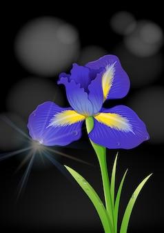 Fleur d'iris sur fond noir