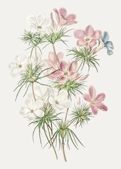 Fleur de leptosiphon