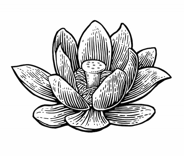 Fleur de lotus. illustrations.