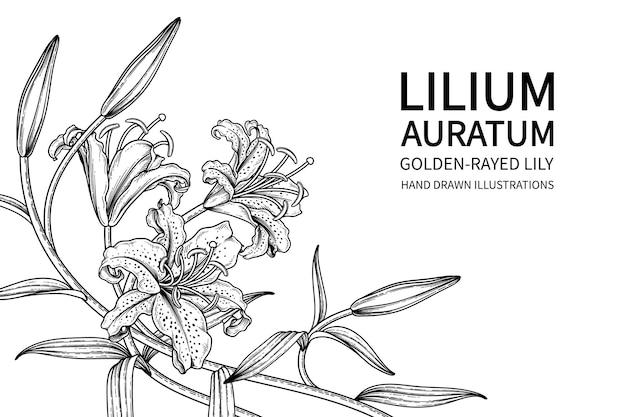 Fleur de lys aux rayons dorés (lilium auratum) illustrations botaniques dessinées à la main.
