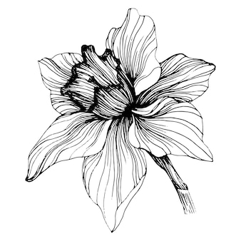 Fleur de narcisse isolé sur blanc