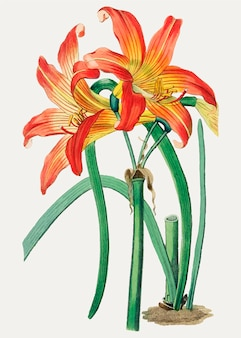 Fleur d'oranger habranthus