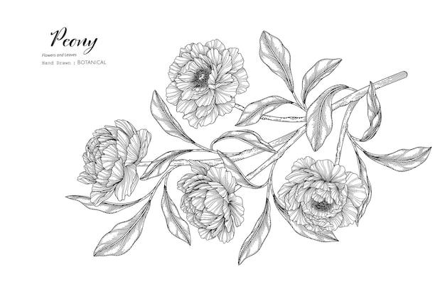 Fleur de pivoine et feuille illustration botanique dessinée à la main avec dessin au trait.