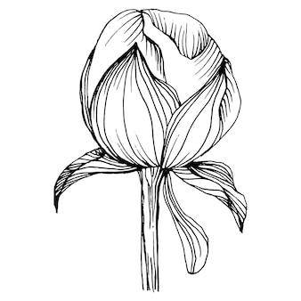Fleur de pivoine, gravure illustration vintage