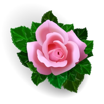 Fleur rose isolé sur fond blanc