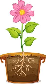 Fleur rose en pot d'argile sur blanc