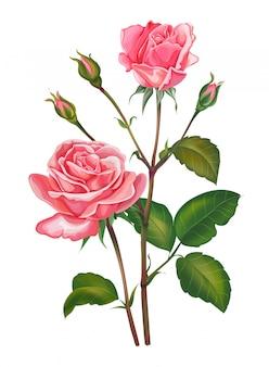 Fleur rose rose isolé sur blanc