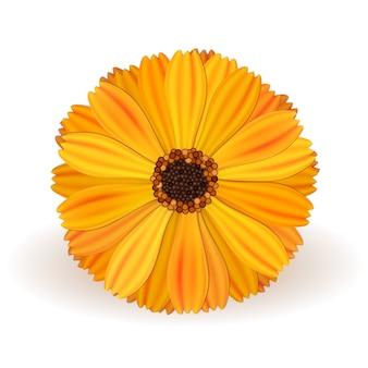 Fleur de souci vecteur jaune réaliste sur fond blanc