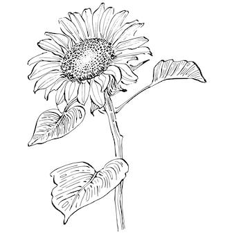 Fleur de tournesol. fleur botanique florale. élément d'illustration isolé. dessin à la main de fleurs sauvages