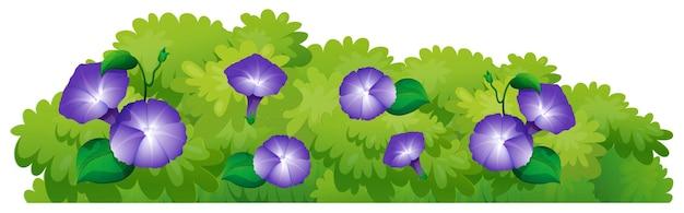 Fleurs bleues de gloire du matin dans le buisson vert