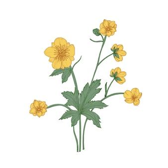 Fleurs, bourgeons et feuilles de renoncule tendres