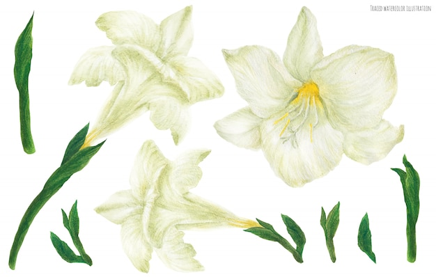 Fleurs et boutons blancs de freesia, aquarelle