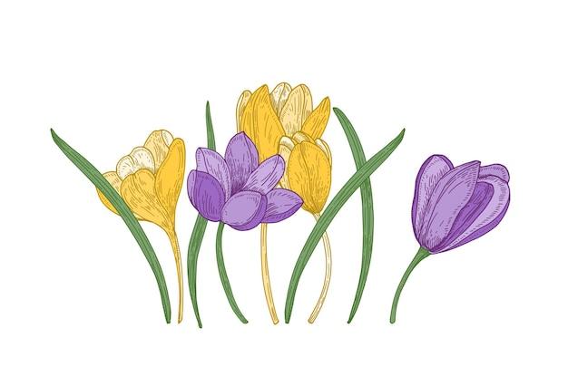 Fleurs de crocus de printemps en fleurs isolés sur blanc. superbe plante à fleurs de jardin de saison