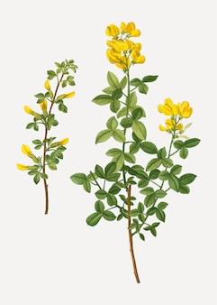 Fleurs de cytisus communes