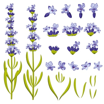 Fleurs de lavande. illustration