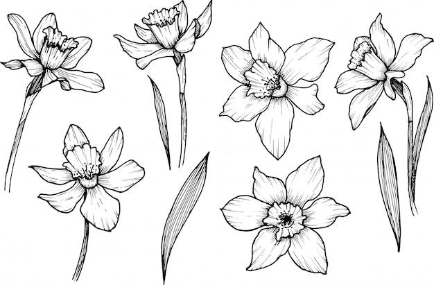Fleurs de narcisse, fleurs sauvages, clipart doodle art en ligne, dessinés à la main