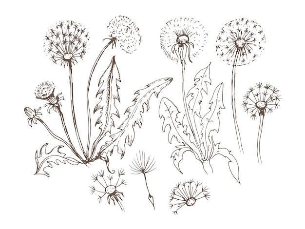 Fleurs de pissenlit fleurs sauvages illustration dessinée à la main.