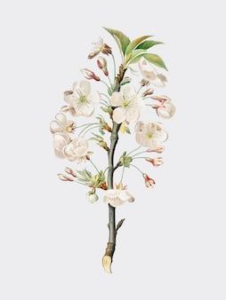 Fleurs de poirier d'illustration pomona italiana
