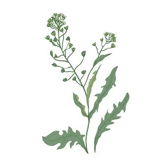 Fleurs de sac à main de berger ou inflorescences isolés sur blanc