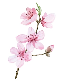 Fleurs de sakura rose dessin aquarelle