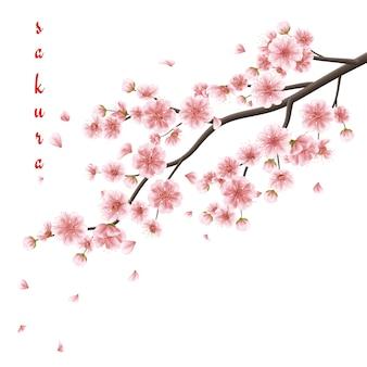 Fleurs de sakura rose isolés sur blanc.