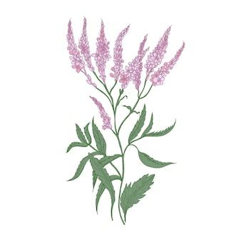 Fleurs de verveine commune isolés sur blanc