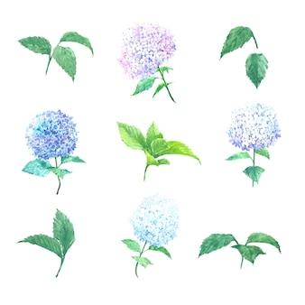 Floraison fleur hortensia multi couleur aquarelle sur blanc pour un usage décoratif.