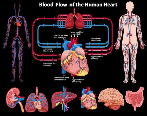 Flux sanguin du cœur humain