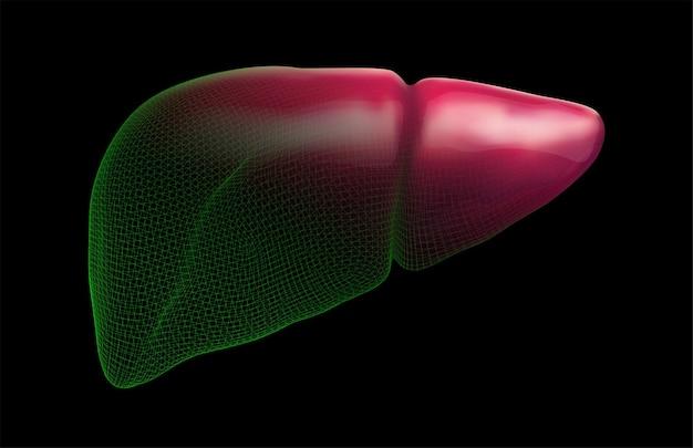 Foie humain de vecteur, organe 3d volumétrique pour les médicaments et les nouvelles médicales
