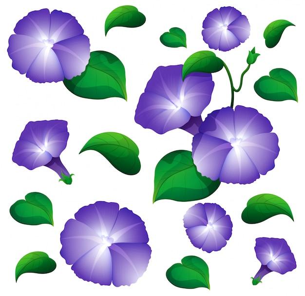 Fond transparent avec des fleurs de gloire du matin