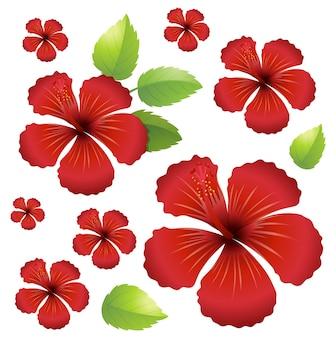 Fond transparent avec des fleurs d'hibiscus rouges