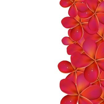 Frangipanier rose avec bordure, isolé sur fond blanc, illustration