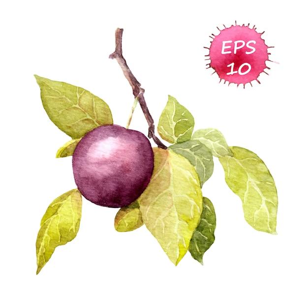 Fruit de cerise prune.