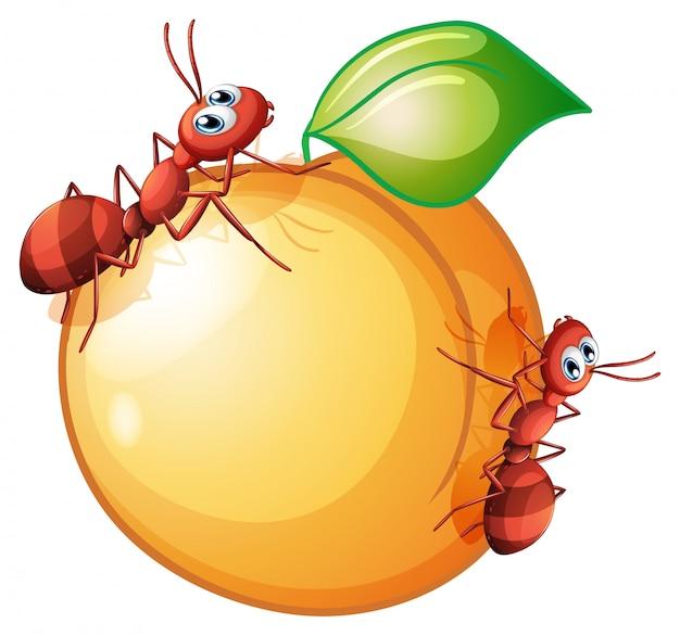 Un fruit avec deux fourmis