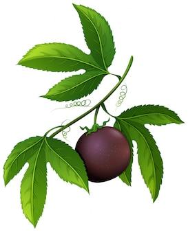 Fruit de la passion frais sur la branche