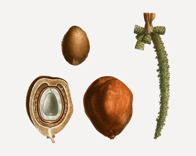 Fruits du palmier dattier
