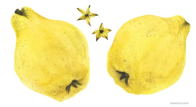 Fruits et graines de coing jaune frais