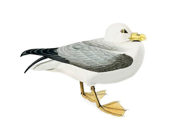 Fulmar petrel illustration