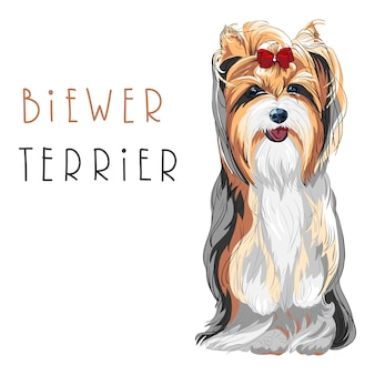 Funny biewer yorkshire terrier chien assis