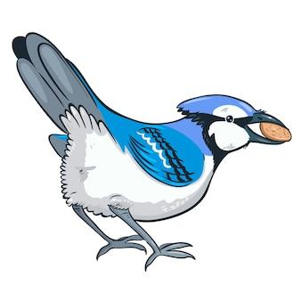 Geai bleu avec une noix dans son bec isolé sur fond blanc.