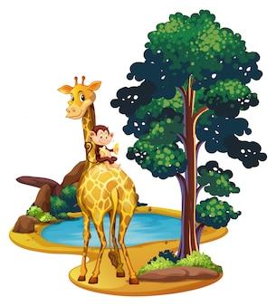 Girafe et singe au bord de l'étang