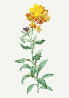 Giroflée jaune en fleur
