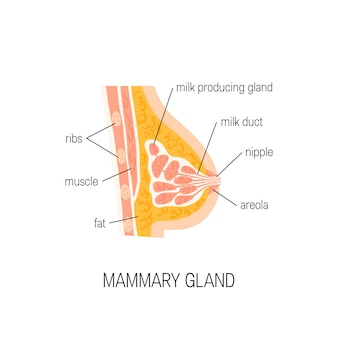 Glande mammaire isolée sur blanc