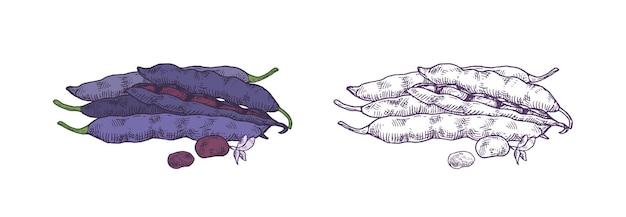Gousses réalistes dessinées à la main de haricots tortue isolés. dessin détaillé de haricots noirs colorés et monochromes