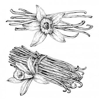 Gousses de vanille, bâtonnets de fleur de vanille.