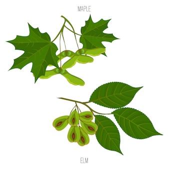 Graines et feuilles d'érable et d'orme vectorielles des échantillons de feuilles d'acer vert isolés
