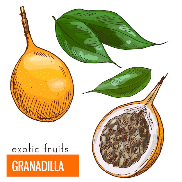 Granadilla. illustration vectorielle de couleur.