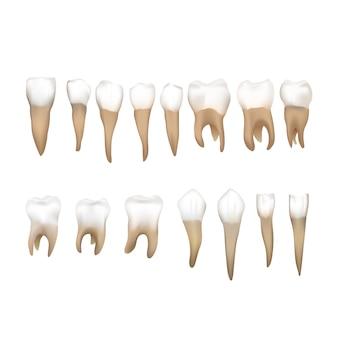 Grand ensemble de différentes dents humaines réalistes sur blanc