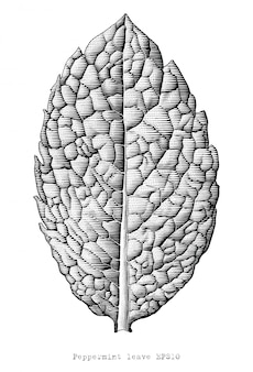 Gravure antique illustration de la feuille de menthe poivrée part dessiner clipart noir et blanc isolé