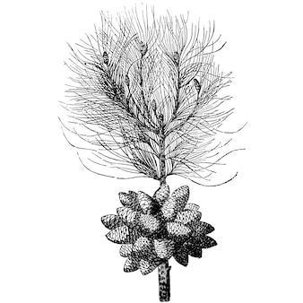 Gravure branche de pins vintage illustrations